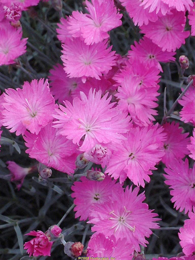 dianthus firewitch pinks perennial