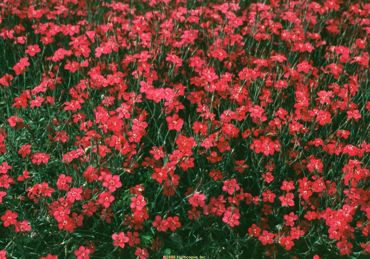 dianthus zing rose pinks perennial