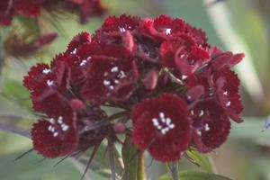dianthus heart attack pinks perennial