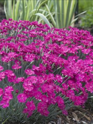 dianthus neon star pinks perennial