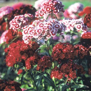 dianthus sweet william pinks perennial