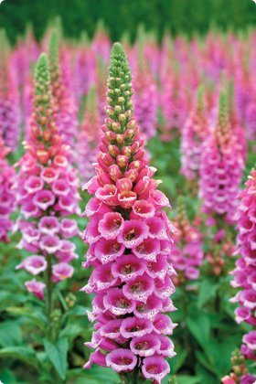 digitalis candy mountain foxglove perennial
