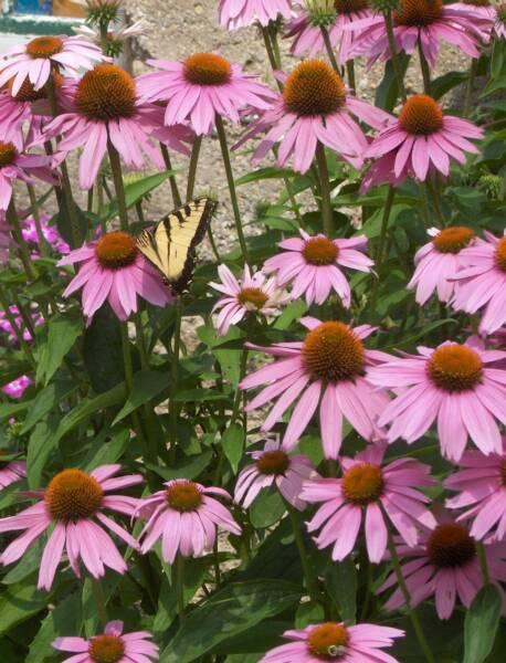 echinacea magnus coneflower perennial