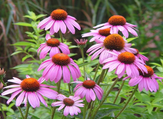 echinacea kim's knee high coneflower perennial