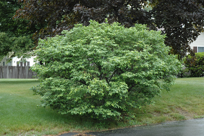 euonymus alatus compactus burning bush shrub