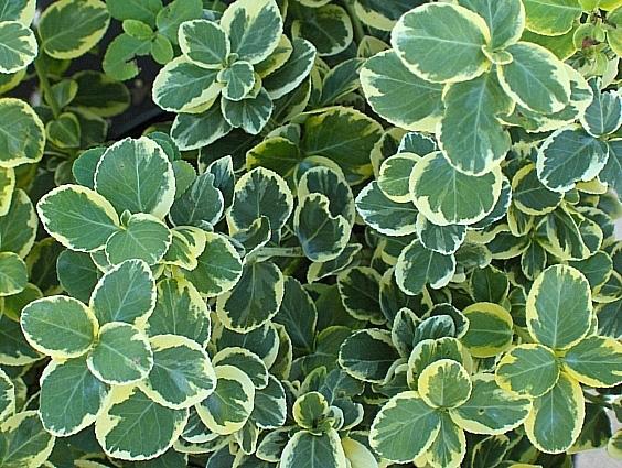 euomymus fortunei canadale gold wintercreeper shrub