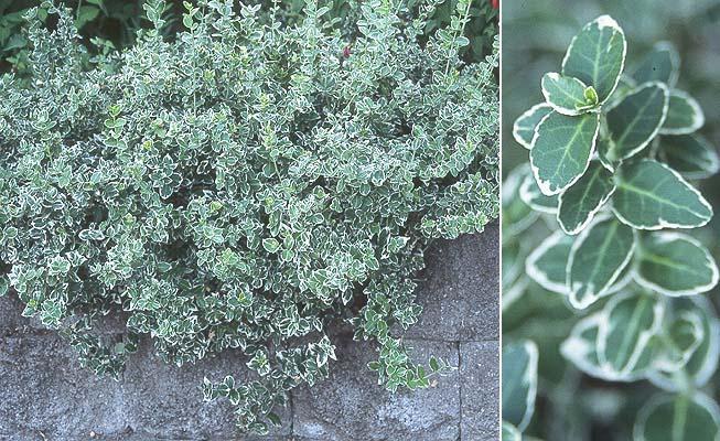 euonymus emerald gaiety wintercreeper shrub
