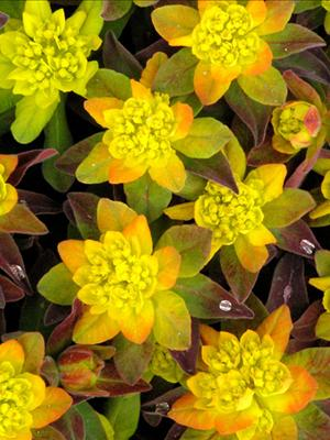 euphorbia bonfire perennial cushion spurge