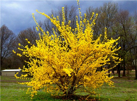 forsythia northern sun shrub