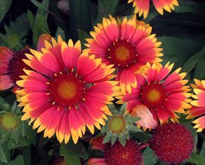 gaillardia bijou blanket flower perennial