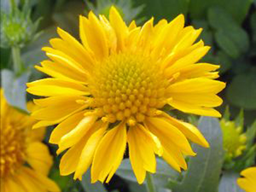 gaillardia gallo yellow blanket flower perennial