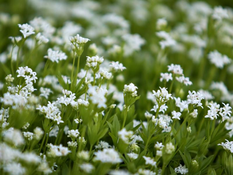 galium odoratum sweet woodruff perennial groundcover