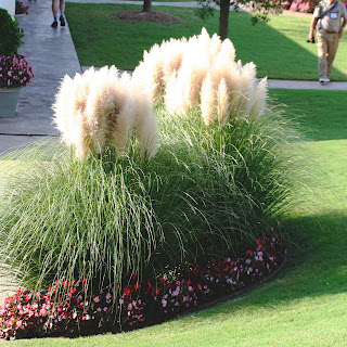 hardy pampas grass ornamental perennial