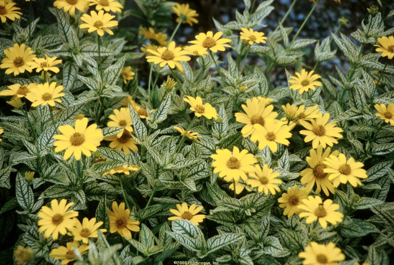 heliopsis loraine sunshine perennial oxeye sunflower