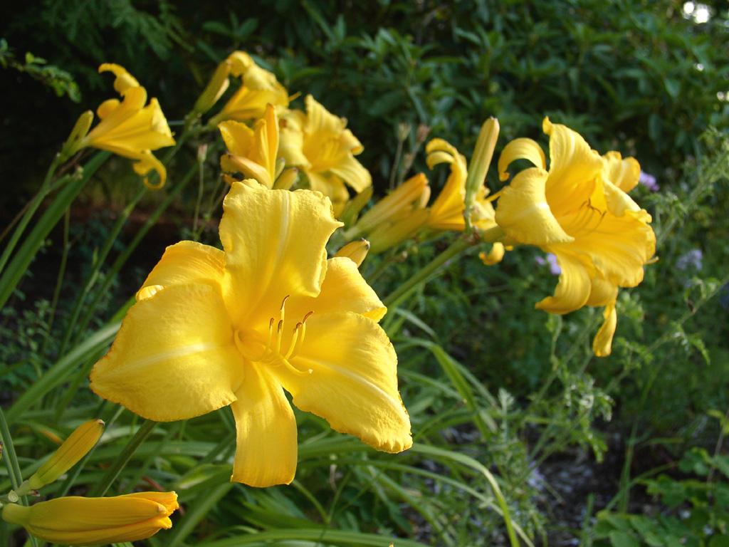 hemerocallis mary todd daylily perennial