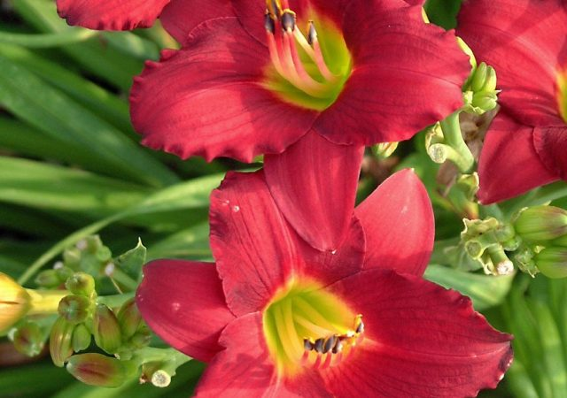 hemerocallis pardon me daylily perennial