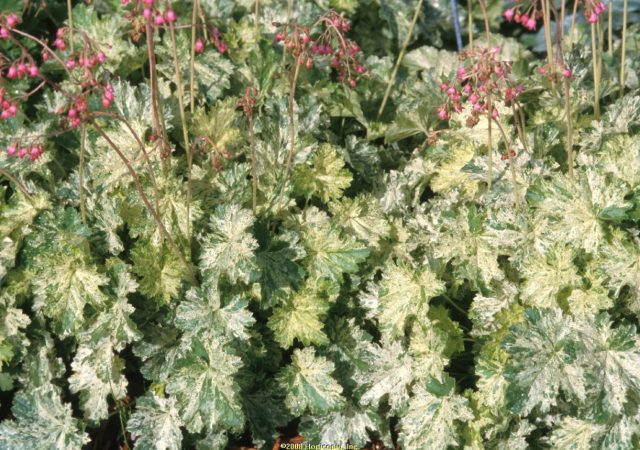 heuchera snow angel coral bells perennial
