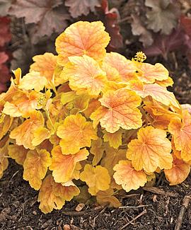 heuchera tiramisu coral bells perennial