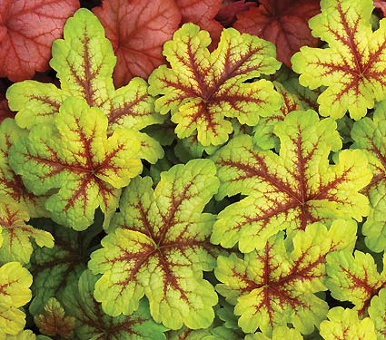 heucherella alabama sunrise foamy bells perennial