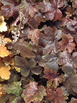 heucherella burnished bronze shade perennial
