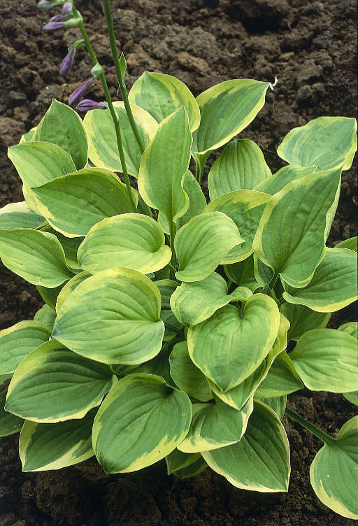 hosta golden tiara perennial