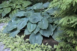 hosta blue angel perennial