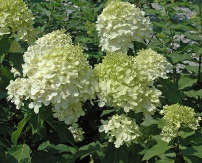 hydrangea limelight shrub