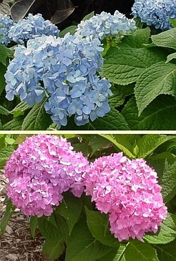 hydrangea macrophylla bailmer endless summer shrub