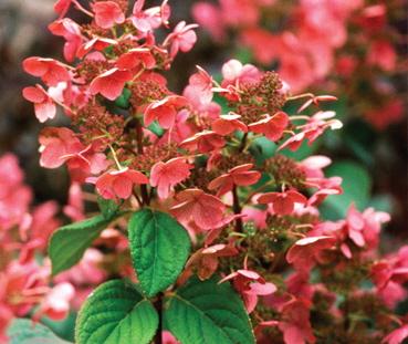 hydrangea quick fire shrub