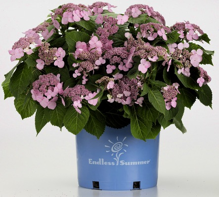 hydrangea twist and shout endless summer shrub