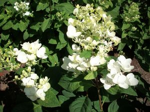 hydrangea white diamond shrub