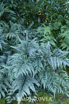 japanese painted fern perennial shade
