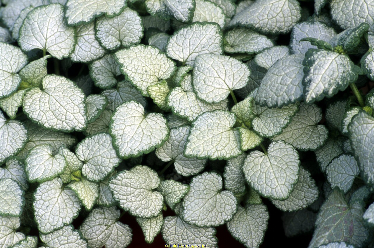 lamium white nancy groundcover dead nettle