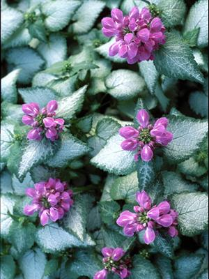 lamium purple dragon dead nettle groundcover
