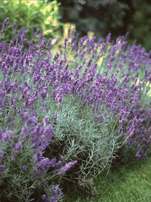 lavendula hidcote lavender perennial