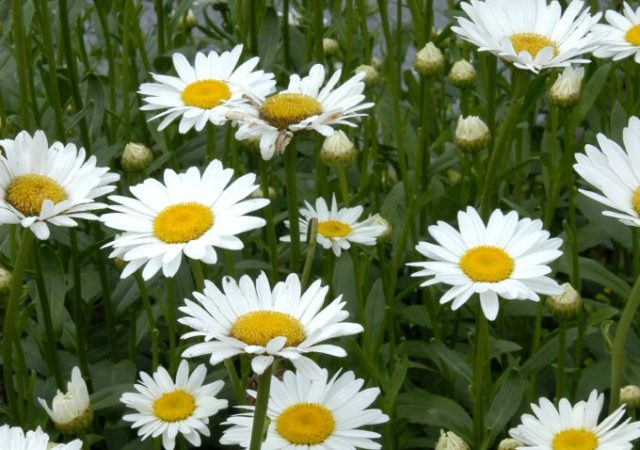 Leucanthemum becky shasta daisy perennial