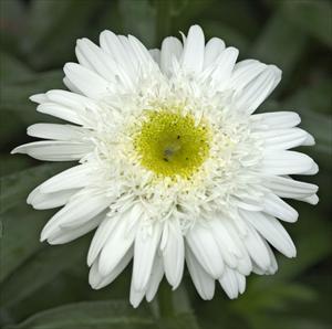 Leucanthemum thomas killen perennial shasta daisy
