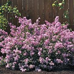 syringa bloomerang lilac shrub