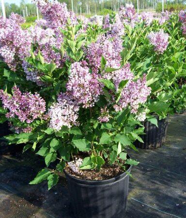 Syringa lilac miss kim shrub