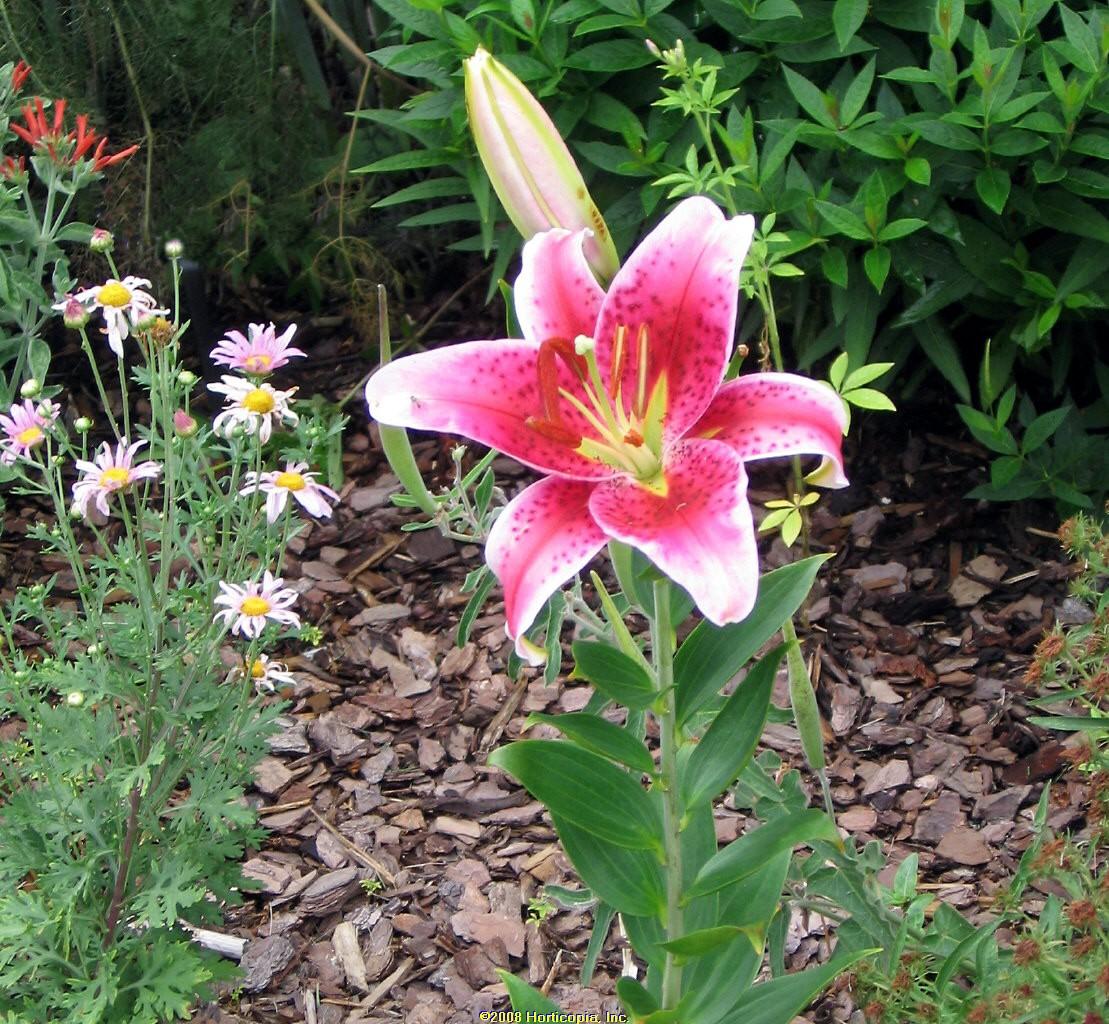 lilium stargazer lily asiatic perennial