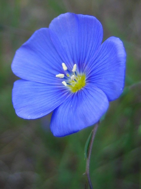 linum perenne blue flax perennial