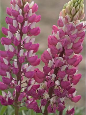 lupinus the chatelaine lupine perennial