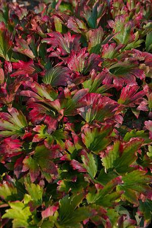 mukdenia karasuba red-leafed perennial