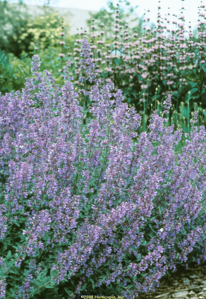 nepeta walker's low catmint perennial