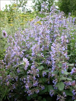 nepeta blue wonder perennial catmint