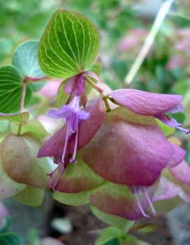 origanum kent beauty ornamental oregano annual