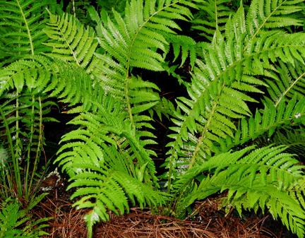 Matteuccia struthiopteris ostrich fern perennial