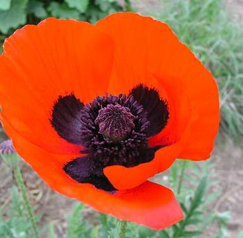papaver brilliant oriental poppy perennial