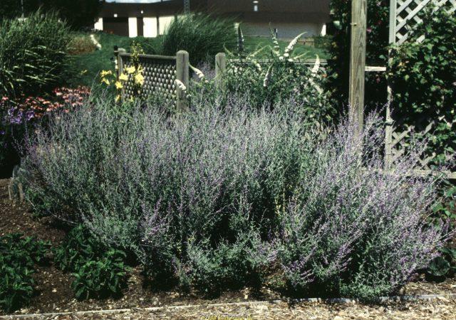 perovskia atriplicifolia russian sage perennial