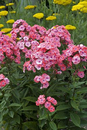 phlox junior dance perennial